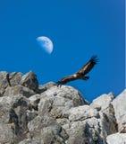 Griffon Vulture die tegen een dag halve Maan, Monfrague glijden, royalty-vrije stock foto's