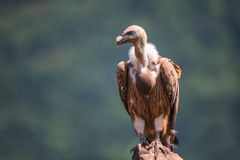 Griffon Vulture in een gedetailleerd portret, die zich op een rotsoverschotten bevinden Royalty-vrije Stock Afbeelding