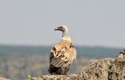 Griffon Vulture-Erwachsener auf dem Gebiet Stockbilder