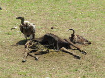 Griffon Vulture. A Griffon Vulture feeding on a carcass Royalty Free Stock Images