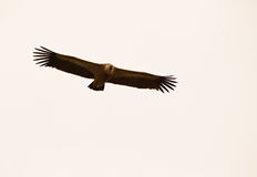 Griffon Vulture on flight Stock Photos
