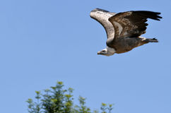 Griffon vulture in flight Stock Images
