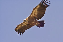 Griffon Vulture in flight. Wild Griffon Vulture in Gamla resrve, Israel Royalty Free Stock Photos