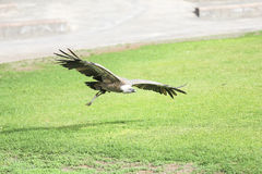 Griffon vulture in flight Royalty Free Stock Photos