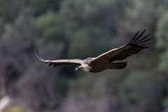 Griffon vulture in flight Royalty Free Stock Images