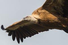 Griffon vulture in flight. In extramadura royalty free stock photos