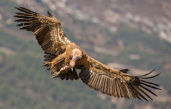 Griffon Vulture in flight Royalty Free Stock Photos