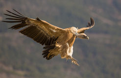 Griffon Vulture in flight Royalty Free Stock Photo