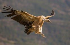 Griffon Vulture in flight Royalty Free Stock Photo