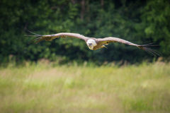 The griffon vulture in flight Royalty Free Stock Photo