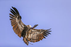 Griffon vulture in flight Royalty Free Stock Photography