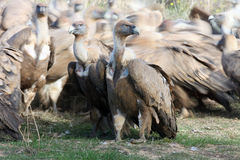 The griffon vulture with a flock of other vultures. The griffon vulture Gyps fulvus with a flock of other vultures behind back stock image