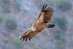 Griffon vulture flying above Uvac river in Serbia Stock Image