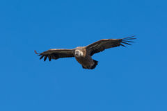 Griffon Vulture Flying Against a Blue Sky Stock Images