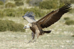Griffon vulture flying. Royalty Free Stock Photos