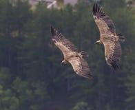 Griffon vulture flying, Drome provencale, France Stock Images