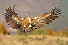 Griffon vulture flying stock photography