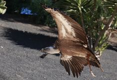 Griffon Vulture flying in a park Stock Photography