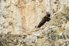 Griffon Vulture flying Royalty Free Stock Photography