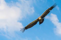 Griffon vulture flying Royalty Free Stock Image
