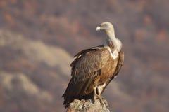 Griffon Vulture (fulvus dos Gyps) Imagens de Stock