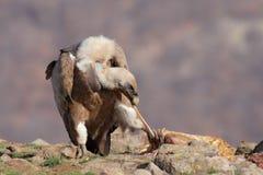 Griffon Vulture (fulvus dos Gyps) Foto de Stock Royalty Free