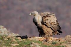 Griffon Vulture (fulvus dos Gyps) Fotografia de Stock Royalty Free