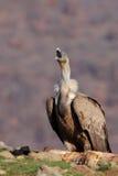 Griffon Vulture (fulvus dos Gyps) Fotos de Stock Royalty Free