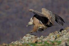 Griffon Vulture (fulvus dos Gyps). Imagens de Stock Royalty Free