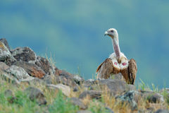 Griffon Vulture, fulvus dos Gyps, pássaro de rapina grande que senta-se na pedra, montanha da rocha, habitat da natureza, Madzaro Imagem de Stock Royalty Free