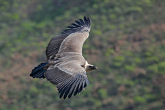 Griffon Vulture, fulvus dos Gyps, pássaros grandes do voo da rapina acima do moountain Abutre na pedra Pássaro no habitat da natu Imagens de Stock Royalty Free