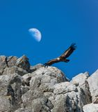 Griffon Vulture gliding against a daytime half Moon, Monfrague, royalty free stock photos