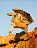 A Griffon Vulture goes for the food Stock Images