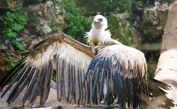 Griffon vulture. The griffon vulture, Gyps fulvus, is a large Old World vulture in the bird of prey family Accipitridae. It is also known as the Eurasian griffon stock image