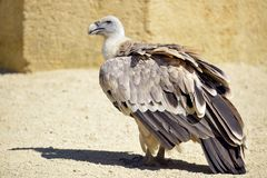 Griffon vulture on ground stock images