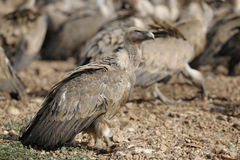 Griffon vulture on the ground Stock Photo