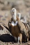 Griffon vulture on the ground. Royalty Free Stock Images