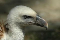 Griffon Vulture (Gyps fulvus). Head of a Griffon Vulture in Amsterdam Zoo, Netherlands Royalty Free Stock Photos