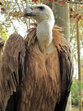 Griffon vulture, Gyps fulvus Stock Photography