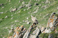 Griffon Vulture (Gyps fulvus) Stock Images