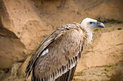 Griffon vulture (Gyps fulvus). Portrait of a griffon vulture Royalty Free Stock Photo