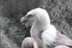 Griffon Vulture - Gyps fulvus. Side view Royalty Free Stock Photo