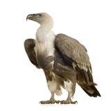 Griffon Vulture - Gyps fulvus Royalty Free Stock Image