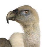 Griffon Vulture - Gyps fulvus Stock Photography
