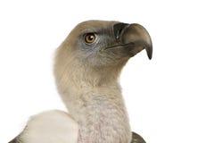 Griffon Vulture - Gyps fulvus Stock Photography