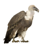 Griffon Vulture - Gyps fulvus Stock Photos