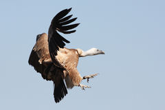 Griffon Vulture - Gyps fulvus Stock Images