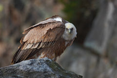 Griffon Vulture, Gyps fulvus, Big birds of prey sitting on the stone, rock mountain, France Royalty Free Stock Photography