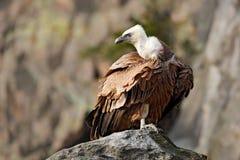 Griffon Vulture, Gyps fulvus, big birds of prey sitting on the stone, rock mountain, nature habitat, Spain. Wildlife scene from na Royalty Free Stock Photography