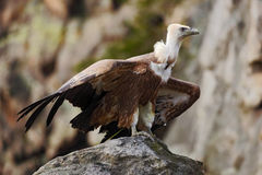 Griffon Vulture, Gyps fulvus, big birds of prey sitting on the stone. Vulture in the rock mountain. Vulture in the nature habitat, Royalty Free Stock Photos